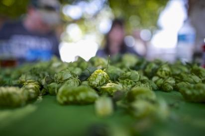 Fresh picked hops at Gooding Farms in Parma, Idaho.