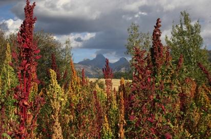 Quinoa in the Tetons