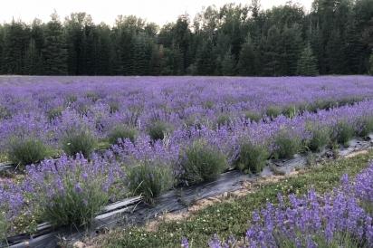 Lavender Farm In Sandpoint Idaho Edible Idaho