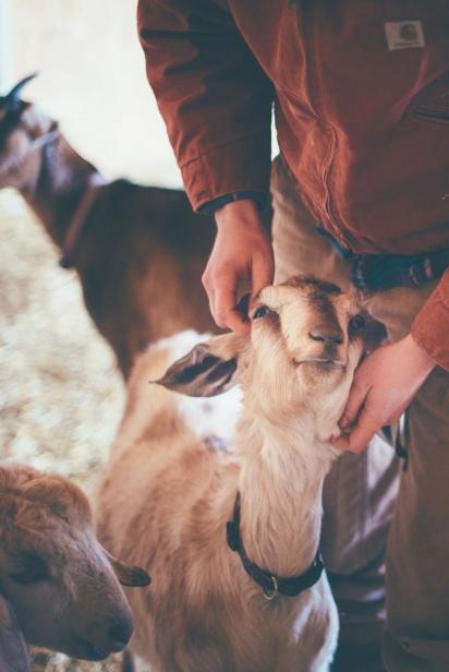 Goat being pet